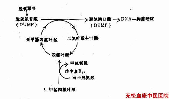 营养性巨幼细胞性贫血(Nutrition